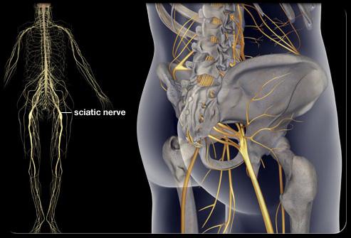 Расположение седалищного нерва в организме человека